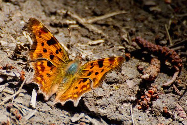 BODY_comma_butterfly.jpg