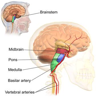 Brain Stem- All Diagram Wiki BruceBlaus
