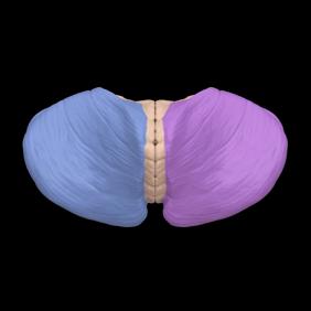 Cerebellar hemisphere 2- animation