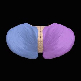 Cerebellar_hemisphere_---_05