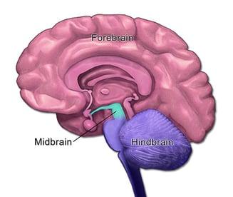 Mid, Fore & Hindbrain- BruceBlaus- Edited
