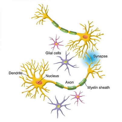 Neurons & Glial Cells