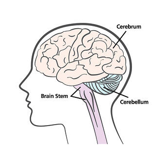 Parts of Brain Diagram- 3 parts