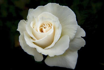 white roses have a variety of symbolic associations in greek myth aphrodite was born from the foam of the sea greek poet anacreon wrote that the sea foam