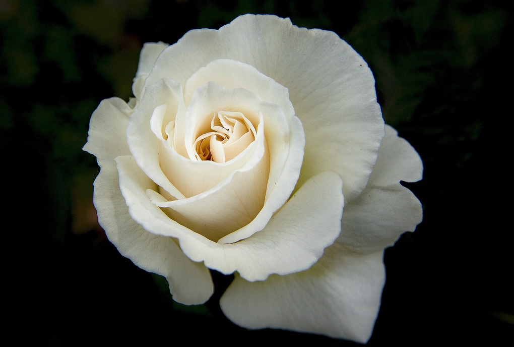 White Roses Have A Variety Of Symbolic Associations. In Greek Myth,  Aphrodite Was Born From The Foam Of The Sea. Greek Poet Anacreon Wrote That  The Sea Foam ...