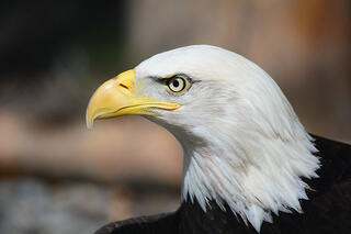 where to the best dbq examples bald eagle 140793 1920 jpg