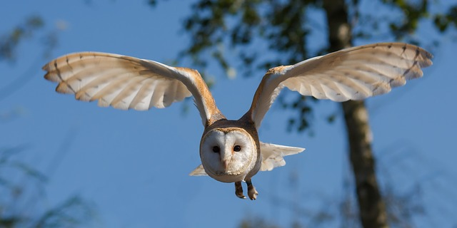 barn-owl-1107397_640.jpg