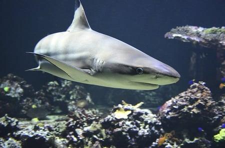 body-blacktip-reef-shark