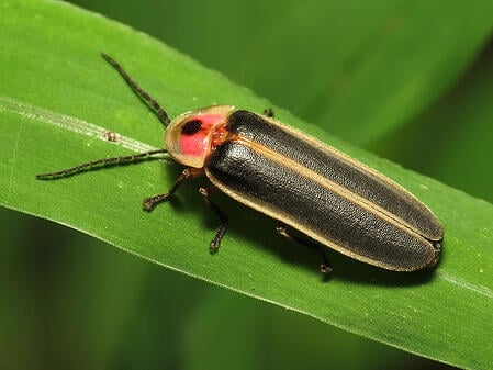 body-common-eastern-firefly-pyralis