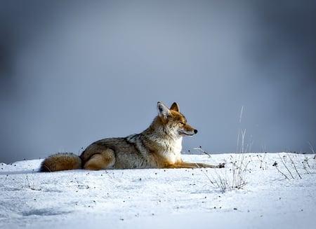 body-coyote