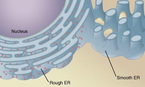 body-endoplasmic-reticulum-CFCF-Wikimedia-link-to-CC-3.0