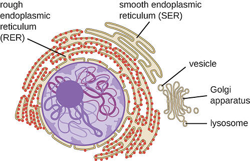 body-endoplasmic-reticulum-CFCF-wikimedia-link