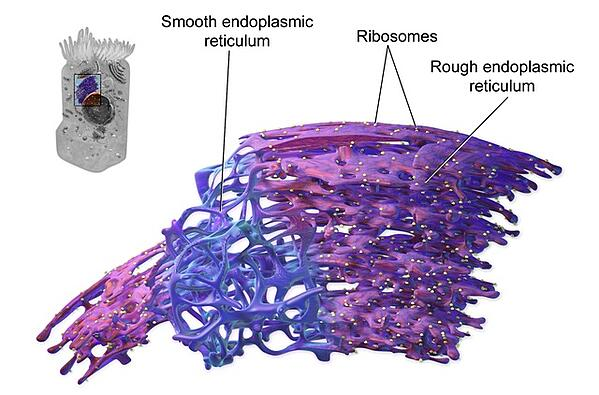 body-endoplasmic-reticulum-wikimedia-commons-link