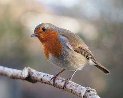 body-european-robin