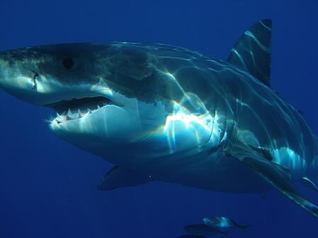 body-great-white-shark