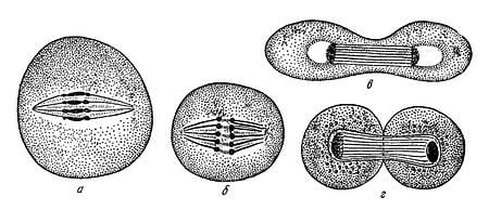 body-mitosis-illustration