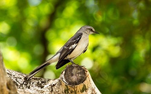 body-mockingbird
