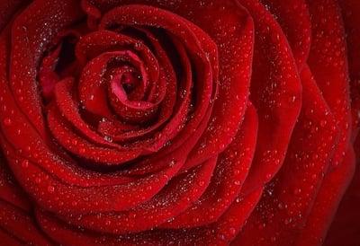 body-red-rose-cc0