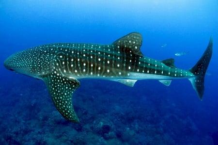 body-whale-shark