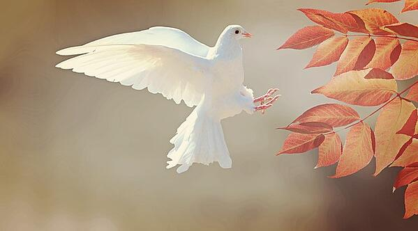 body-white-dove-tree