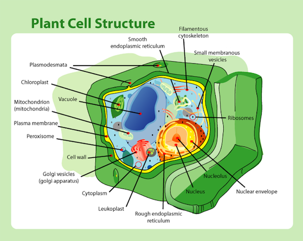 body_actscienceplantcell.png