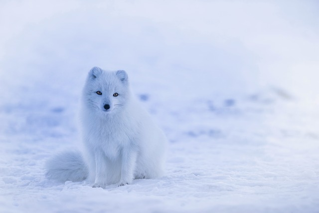 body_arctic_fox