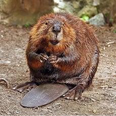 body_beaver2