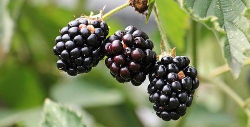 body_blackberries