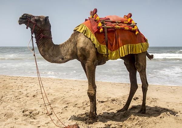 body_camel.jpg