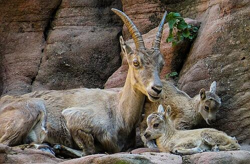 body_capricorn_goats_family