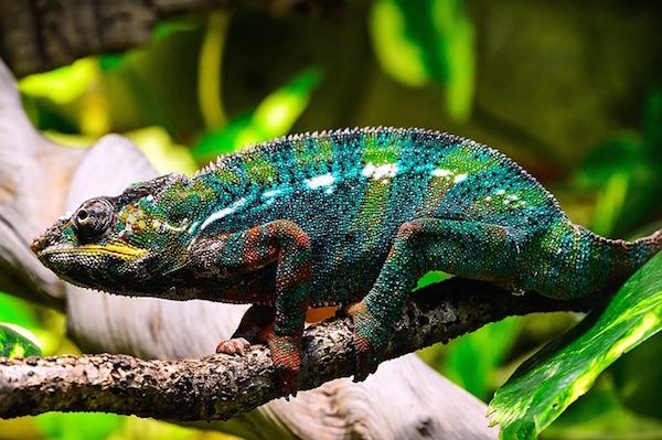 body_chameleon.jpg