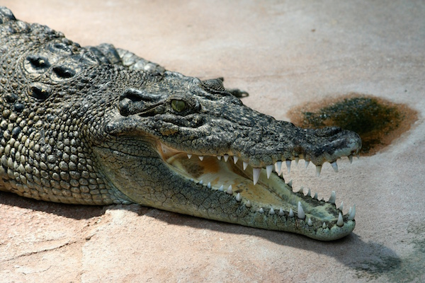body_crocodile