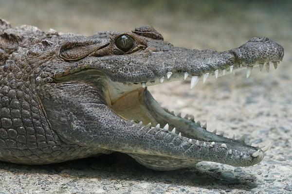 body_crocodile2