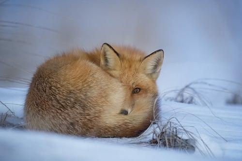 body_cute_fox