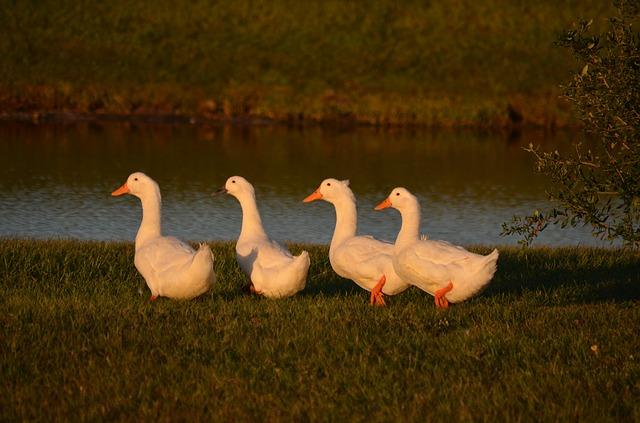 body_ducks-1