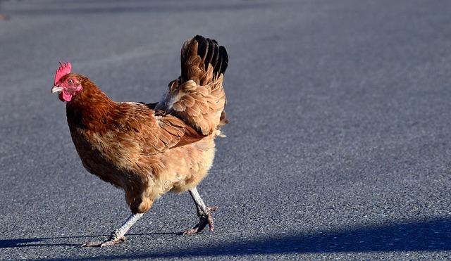 body_escaped_chicken