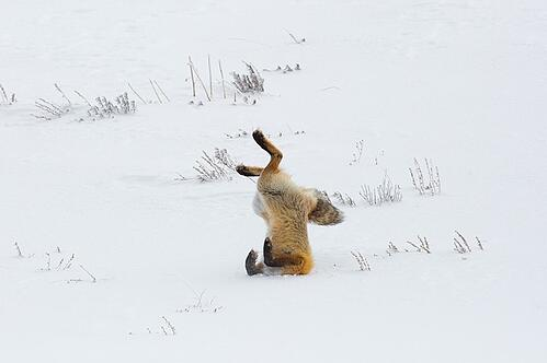 body_fox_snow