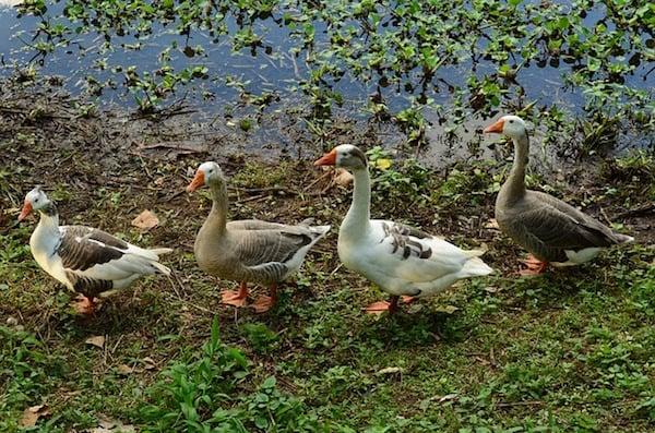 body_geese.jpg