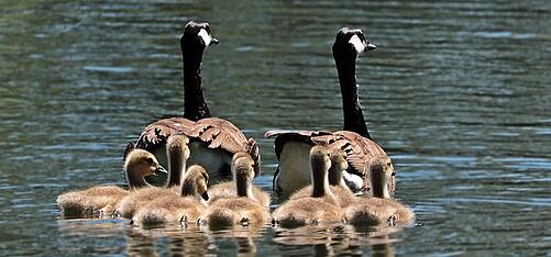 body_geese_family