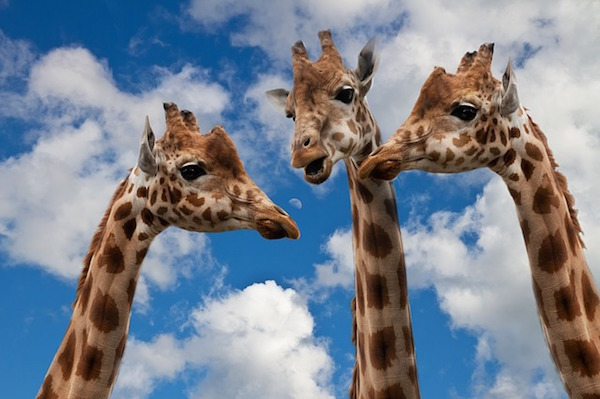 body_giraffes.jpg