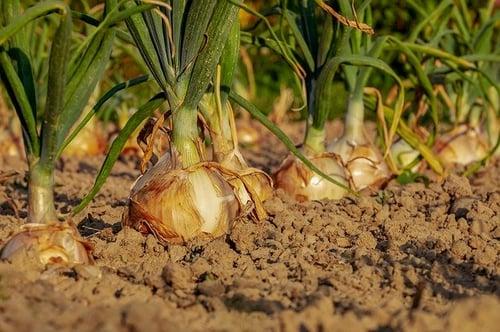 body_growing_onions_garden