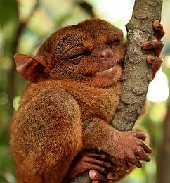 body_happytarsier-1.jpg