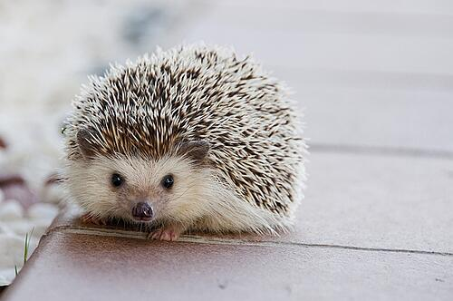 body_hedgehog