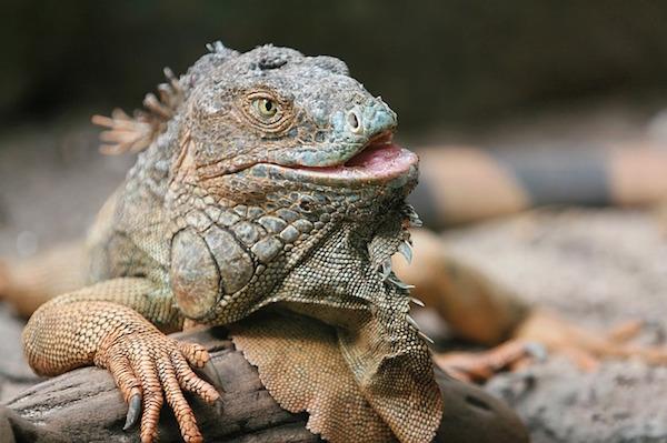 body_iguana.jpg