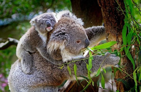 body_koalas.jpg