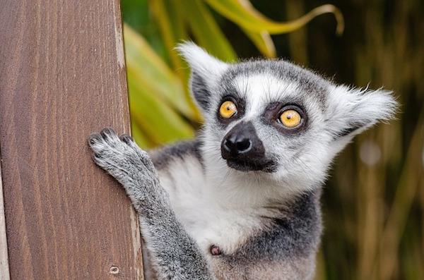 body_lemur.jpg