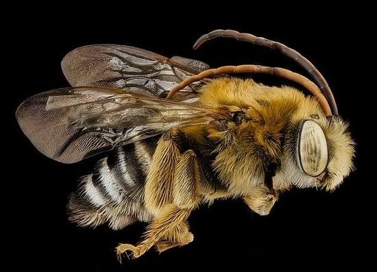 body_longhornedbee