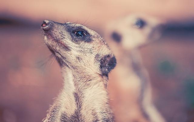 body_meerkat.jpg