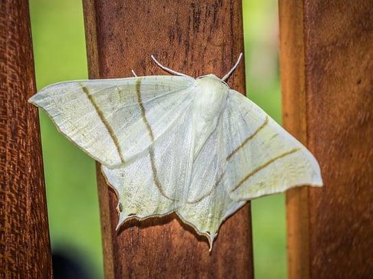 body_moth