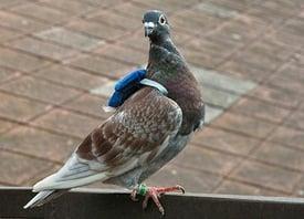 body_pigeon